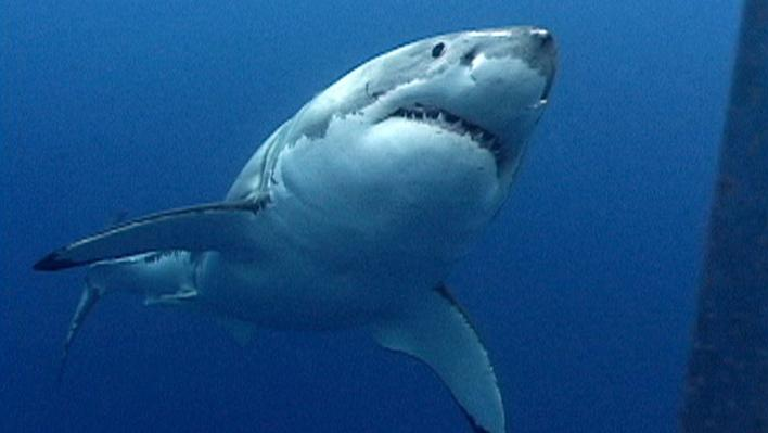 Swimming With Jaws