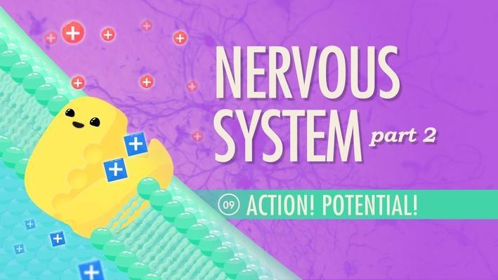 The Nervous System, Part 2: Action! Potential! | Crash Course A&P 9