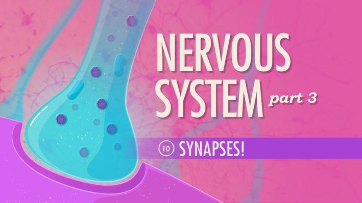 The Nervous System, Part 3: Synapses | Crash Course A&P 10