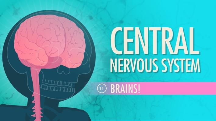 Central Nervous System | Crash Course A&P 11