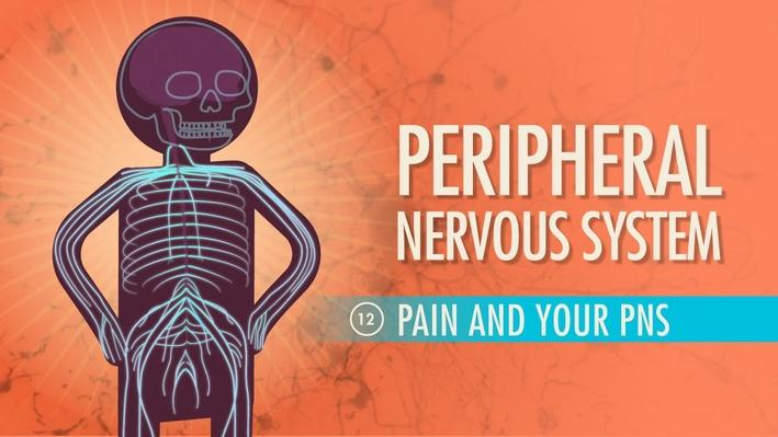 Peripheral Nervous System | Crash Course A&P 12