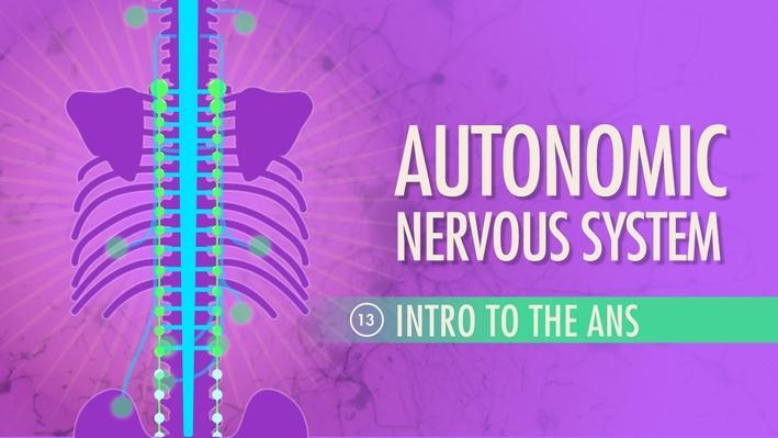 Autonomic Nervous System | Crash Course A&P 13