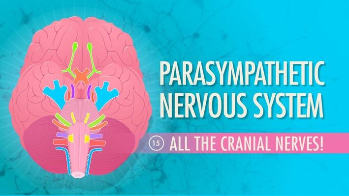 Parasympathetic Nervous System | Crash Course A&P 15