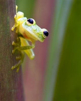 Hyalinobatrachium vireovittatum, glass frog, Panam | Animals, Habitats, and Ecosystems