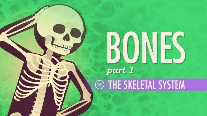 The Skeletal System | Crash Course A&P 19
