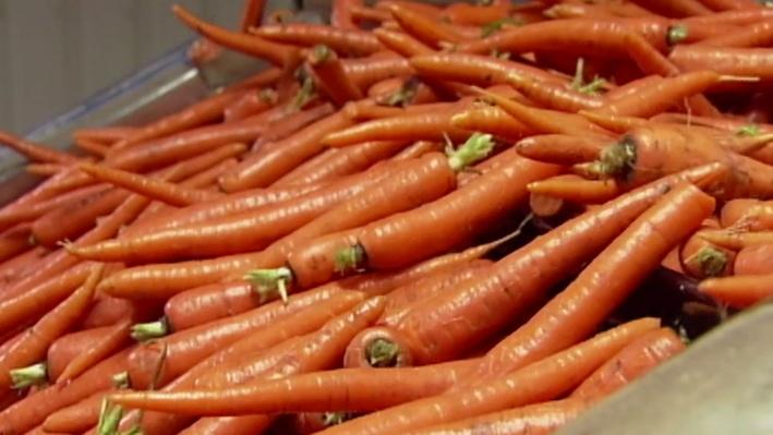 Carrot Harvest | America's Heartland