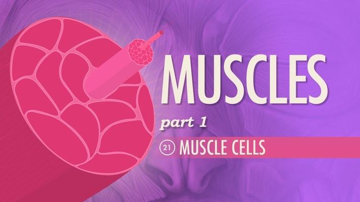 Muscles, Part 1: Muscle Cells | Crash Course A&P 21