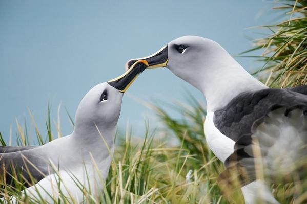 Grey-headed Albatross (Thalassarche chrysostoma)