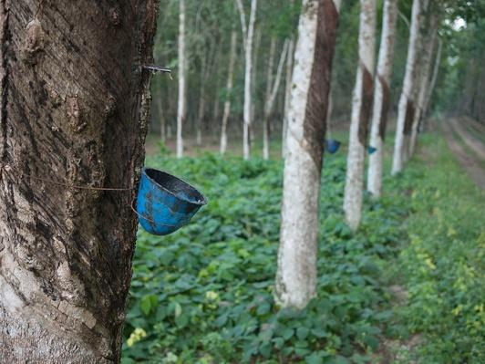 Blue Buckets Catch Sap Dripping From Rubber Trees | Earth's Resources
