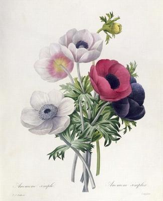 Anemone: Simple, from 'Les Choix des Plus Belles Fleurs'