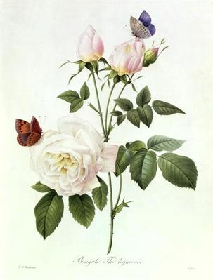 Rosa: Bengale the Hymenes, from 'Les Roses', 19th century