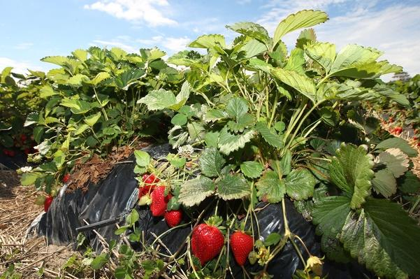 New Zealand Strawberry Season Thrives Ahead Of Christmas Rush | Agriculture and Forestry