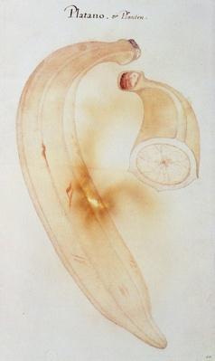 Horn Plantain