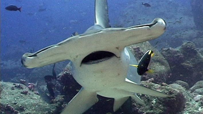 The Mysterious Hammerhead