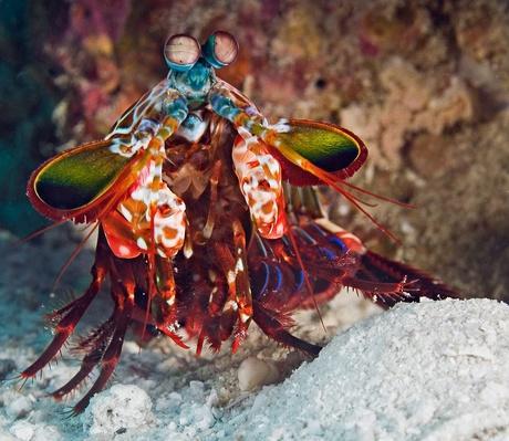 Mantis shrimp | Animals, Habitats, and Ecosystems