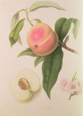 Noblesse Peach