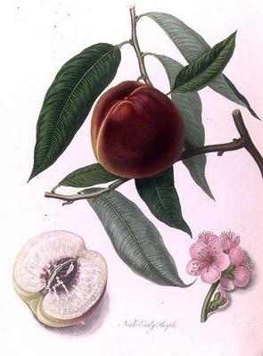 Nectarine: Neals Early Purple
