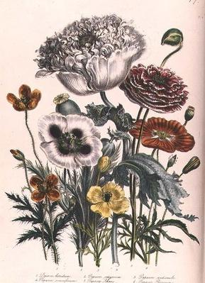 Poppies, plate 4 from 'The Ladies' Flower Garden', published 1842