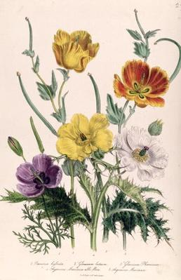 Poppies and Anemones, plate 5 from 'The Ladies' Flower Garden', published 1842