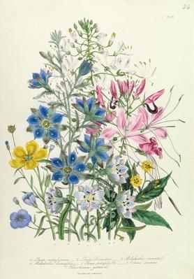 Cornflower, plate 15 from 'The Ladies' Flower Garden', published 1842