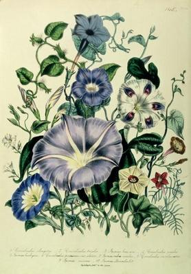 Bindweed, plate 26 from 'The Ladies' Flower Garden', published 1842