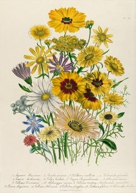 Daisies, plate 31 from 'The Ladies' Flower Garden', published 1842