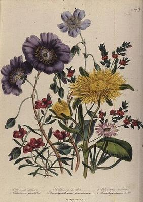 Calandrinia, plate 18 from 'The Ladies' Flower Garden', published 1842