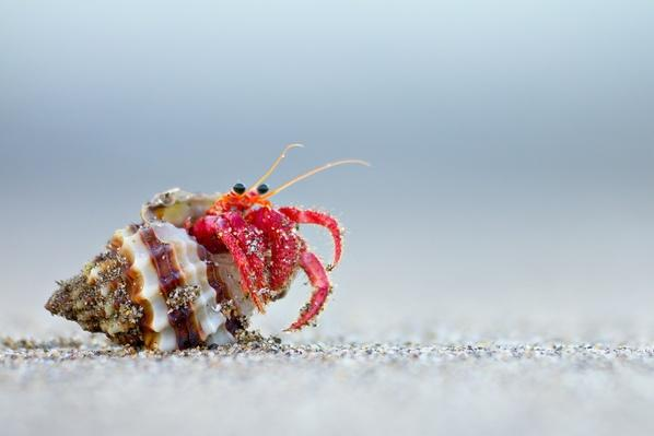 Hermit crab | Animals, Habitats, and Ecosystems