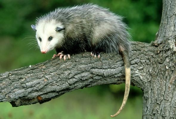 Opossum, Didelphis marsupialis, on branch, Portrait, USA | Animals, Habitats, and Ecosystems