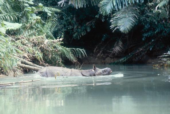 Javan Rhinoceros, Rhinoceros sondaicus, Ujung Kulon, Java, Indonesia