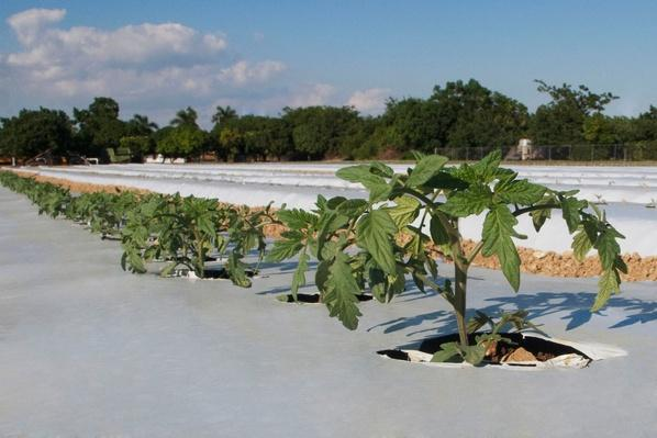 Tomato Plants in a Field - Florida, USA | Earth's Resources
