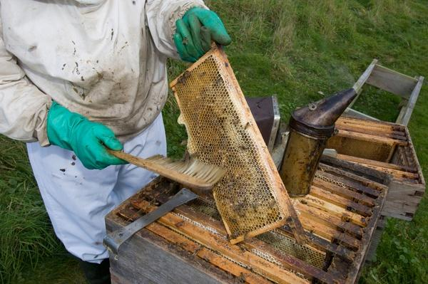 Beekeeper Brushing Bees From Frame of Hive, Uk | Earth's Resources
