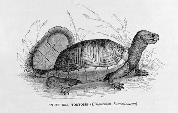 Snuff-box Tortoise
