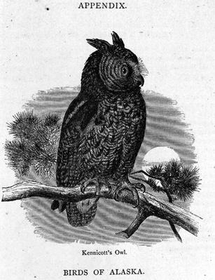 Kennicott's Owl, from 'Alaska and its Resources', by William H. Dall, engraved by H. H. Nicholls, pub. 1870