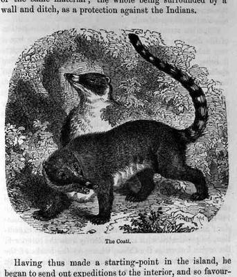 The Coati, from 'Santo Domingo Past and Present' by Samuel Hazard, pub. 1873