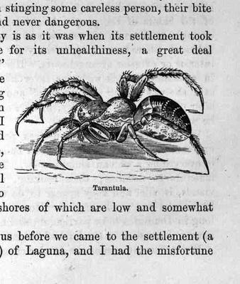 Tarantula, from 'Santo Domingo Past and Present' by Samuel Hazard, pub. 1873