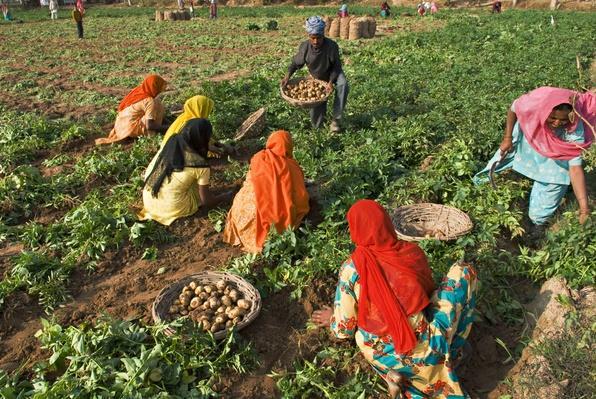 India, Haryana, Potato Harvesting | Earth's Resources
