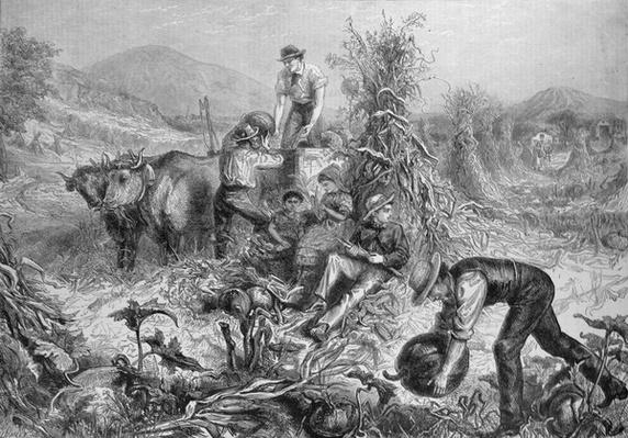 American Husbandry: Gathering Pumpkins and Husking Maize, from 'The Illustrated London News', 24th September 1881
