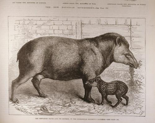 The Newborn Tapir and Its Mother, in the Zoological Society's Gardens, from 'The Illustrated London News', 25th February 1882