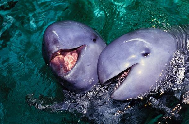 irrawaddy dolphins, orcaella brevirostris, jaya anca aquarium, indonesia | Endangered Species