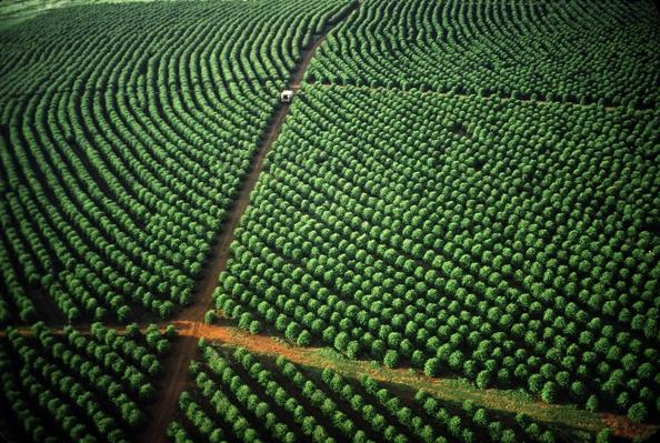 Brazilian Coffee Trees | Earth's Resources