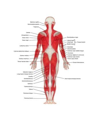 Labeled illustration of a rear view showing human musculature | Science and Technology