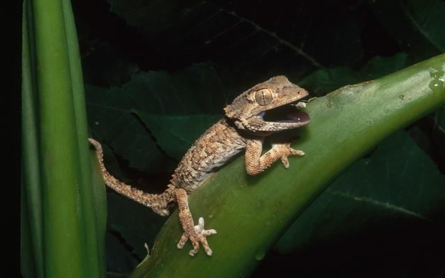 Helmethead gecko (Geckonia chazaliae) in defensive posture