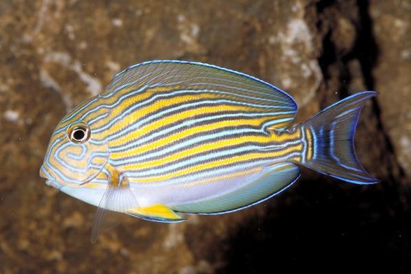 Clown Surgeonfish (Acanthurus lineatus)