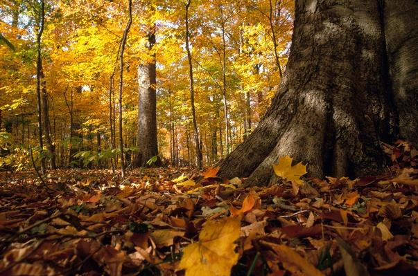 Beech tree in an Ohio woodland in the fall | Animals, Habitats, and Ecosystems