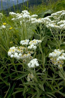 Common Pearly Everlasting (Anaphalis Margaritacea) | Earth's Surface