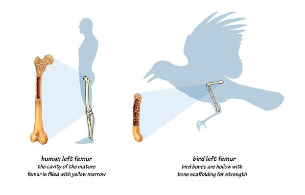 Illustration comparing bird and human bone anatomy | Science and Technology