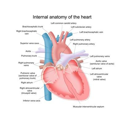 Illustration of the internal anatomy of the heart | Science and Technology