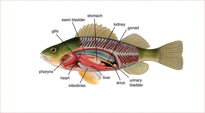 Perch Internal Anatomy Diagram Download Wiring Diagrams