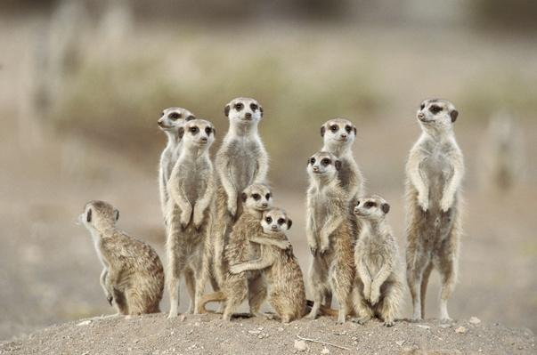 Meerkat or suricate (Suricata suricatta) | Animals, Habitats, and Ecosystems